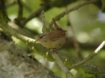 Winter Wren (Troglodytes troglodytes)